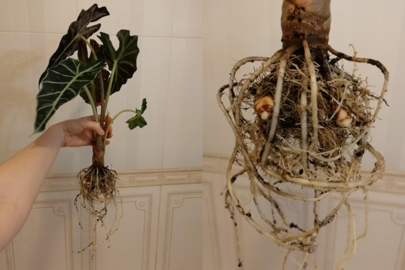 Alocasia root system with baby rhizomes