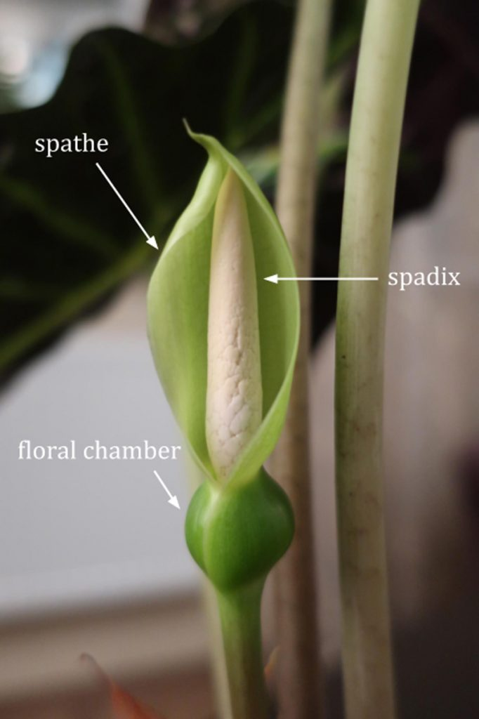 """Alocasia """"flower"""" consists of spathe, spadix and floral chamber"""