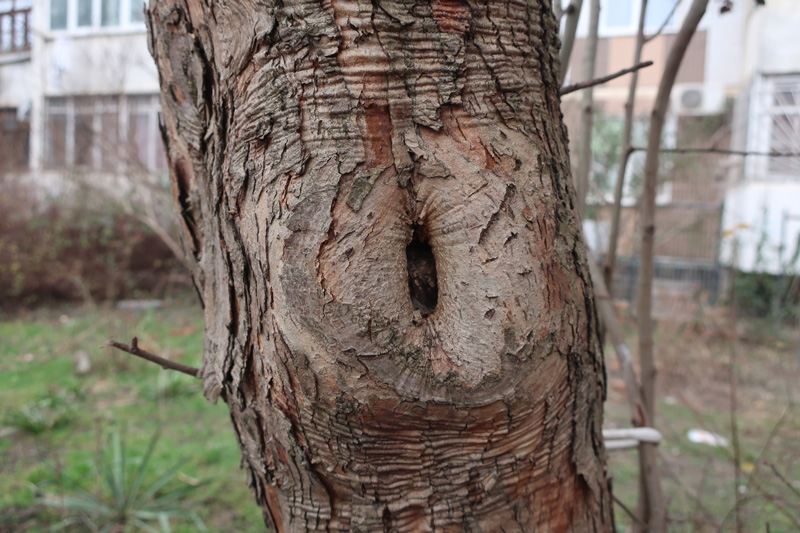 Callus on the tree trunk after pruning