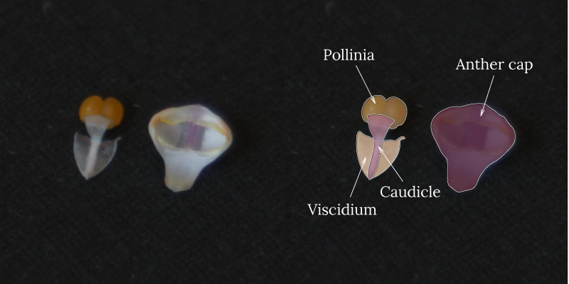 Phalaenopsis's detached anther cap and pollinia with viscidium and caudicle