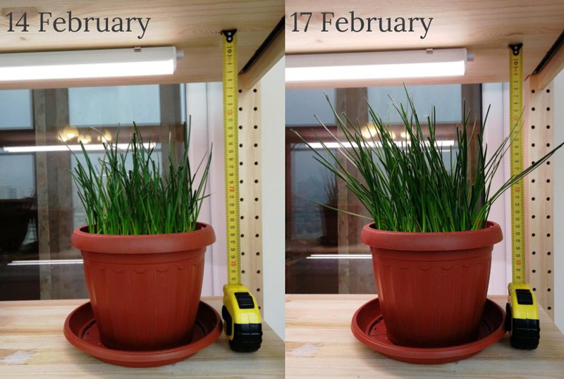Zephyranthes growth